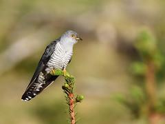 DSC_2652_00001 (Karantez vro) Tags: cuckoo bird tamron 150600mm f563 scotland ecosse schottland highlands kuckuck coucou