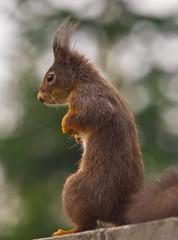 Ausguck / Lookout (schreibtnix on 'n off) Tags: deutschland germany bergischgladbach tiere animals eichhörnchen squirrel sciurusvulgaris nahaufnahme closeup ausguck lookout olympuse5 schreibtnix