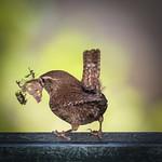 Winterkoning nestwerk - winter wren thumbnail