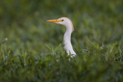 Cattle Egret (Greg Lavaty Photography) Tags: cattleegret bubulcusibis texas may brazosbend statepark ftbendcounty birdphotography breeding outdoors bird nature wildlife