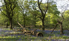 Spring Blues in the Woods (lunaryuna) Tags: forest woods langleywood wald forestinterior spring season seasonalwonders bluebells oaktrees nature flowers beauty light lunaryuna