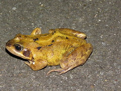 Common frog (marksargeant57) Tags: frog commonfrog macro flashphotography gardenwildlife amphibian