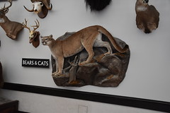 Wonders of Wildlfie National Museum and Aquarium (Adventurer Dustin Holmes) Tags: 2018 wondersofwildlife museum mountainlion cougar taxidermy exhibit stuffed bigcat bigcats springfieldmissouri springfieldmo