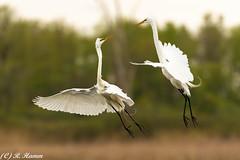 Disagreement (Ronda Hamm) Tags: canon200400 metzgermarsh springmigration birds canon7dii egret fight greategret canon