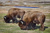 Yellowstone bison (Pattys-photos) Tags: bison yellowstonenationalpark pattypickett4748gmailcom pattypickett