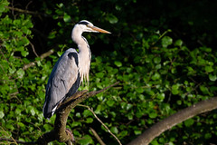 Perched Grey Heron (Unintended_Keith) Tags: greyheron perched bird nature wildlife maidenerleghlake canon1dx sigma150600mms