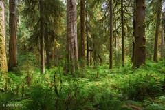Hoh Rain Forest (buffdawgus) Tags: olympicnationalpark washington olympicpeninsula lightroom6 topazsw hallofmossestrail canonef24105mmf4lisusm hohrainforest canon5dmarkiii landscape