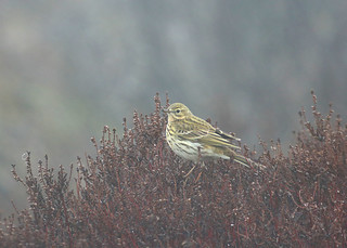 Moorland Meadow Pipit