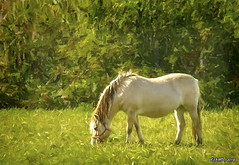 Horse Grazing (kenmojr) Tags: animal sunny sun summer bronco country creature fall farm field grass grassy graze grazing horse kenrmorris kenmojr mustang pasture rural stallion mare