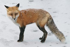 Arctic April (marylee.agnew) Tags: red fox april snow blizzard cold winter endless nature wildlife vulpes