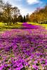 Eine Million Krokusse im Rombergpark totale (rwfoto2013) Tags: 7d blau canon einemillionkrokusseimrombergpark farben frühling landscape landschaft licht march sommer wiese blume deutschland dortmund germany krokus krokusse lila livht makro meer million nrw purple rombergpark ruhrgebiet spring stimmung sylt violet