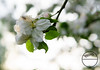 Apple blossom (Sony_Fan) Tags: apple spring blossom garden outdoor nature plant tree white green sony sigma 6000 alpha 14 30mm contemporary bokeh thomas umbach schwelm nrw germany northrhinewestphalia natur landschaft nah naturfotografie photographer baum apfelbaum frühling blüte sonyfan ilce