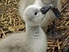 Cygnet (Cornishcarolin. Thank you for over 2 Million Views) Tags: dorset httpabbotsburytourismcoukswannery birds swans cygnets nature water