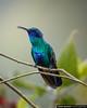 Sparkling Violetear Recinto del Pensamiento Manizales Colombia (arainoffphoto) Tags: birding hummingbird caldas travel nature bird birds manizales park colombia tourism fauna animals co