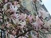 Magnolias With Century Building I (edenpictures) Tags: magnolia unionsquarepark newyorkcity nyc manhattan spring flowers centurybuilding barnesnoble