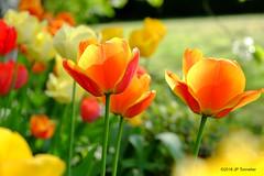 Tulipes (jpto_55) Tags: fleur tulipe proxi bokeh xe1 fuji fujifilm fujixf1855mmf284r orange meuse lorraine france ngc