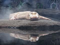 Claude (skipmoore) Tags: californiaacademyofsciences sanfrancisco claude albino alligator reflection