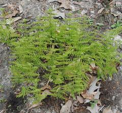 Ferns (Flowers Galore) Tags: ferns spring garden nature