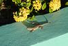 Lagartijas de cola Rizada .....CURLY-TAILED LIZARDS (Xacobeo4) Tags: bahamas lagarto