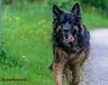Old german shepherd dog (Steffi.K.) Tags: enz vögel schwan frühling feder hund spinne park bird swan spring spider dog feather
