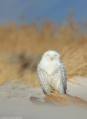 Owl at rest (v4vodka) Tags: bird birding birdwatching animal nature wildife owl snowyowl sowa sowka predator raptor buboscandiacus sowasniezna puchaczsniezny nycteascandiaca schneeeule eule 雪鸮