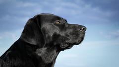 heaven thing (uwe.kast) Tags: labrador labradorretriever labradorredriver hund haustier dog bichou himmel black sky look canon canon750d ef28135mm