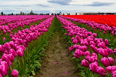 Skagit Valley Tulip Festival (Roozengaarde) (SonjaPetersonPh♡tography) Tags: laconner mtvernon mountvernon landscapes plants flowers nikon nikond5300 festival tulipfestival tulips tulip roozengaarde roozengaardeskagitvalleytulipfestival skagitvalley skagitvalleytulipsfestival skagitcounty skagitvalleytulipfestival skagitcoiunty washington washingtonstate stateofwashington festivities 2018 tulipfields