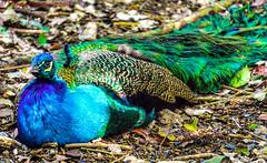 Peacock, Playa del Carmen, Mexico (vdwarkadas) Tags: peacock birds playadelcarmen mexico sony sonya6000 sonyilce6000 bird feathers