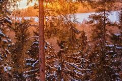 Golden Forest (marikavanhala) Tags: forest woods tree trees snow snowing winter golden goldenhour sunset landscape finland nature light 135mm