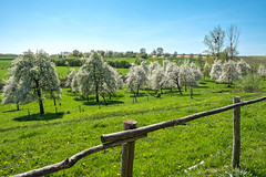Valley of Blossoms (enneafive) Tags: grootloon borgloon limburg belgium orchard blossoms trees green grass fence sky light