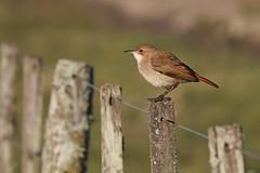 Hornero (7sombreros) Tags: birds avesenlibertad birding birwatching naturewatcher simplelife deepnature wildlife