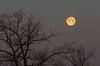 pink moon setting (Marc McDermott) Tags: moon pink tree bird morning setting nature
