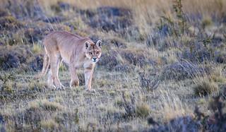 Intense but Wary Puma (Wild)