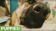 German Shepherd sings lullaby before bedtime (Darth Viral) Tags: dogvideos dogsandpuppies funnydogs funnypets funnyvideos petvideos puppyvideos viralvideos