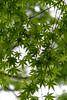 green momiji (Hideki Iba) Tags: leaf plant 植物 葉 日本 京都 nikon d850 2470 kyoto japan green