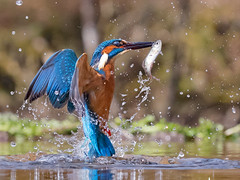 "Third Eyelid... (coopsphotomad) Tags: king ""kingfisher"" bird colour water fish eye beak predator wild canon animal wildlife british 1dx spray outdoor fishing blue orange bright feathers"