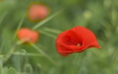 Flowers in nature: poppy (pasquale di marzo) Tags: flower fiore rosso papavero colore macro primavera esterno aprile 2018
