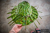 (islandthing) Tags: hat caribbean handmade leafs locally made green palm leaf coconut