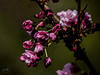 Prunus Candy Floss (John R Woodward Photography) Tags: prunuscandyfloss floweringcherry tree spring flower canon canondslr canoneos canonllenses canon5dmarkiv llenses