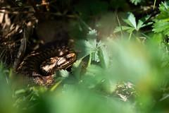 Vipera berus (Noam Meresse) Tags: snake adder reptile herp vipera berus vipère péliade