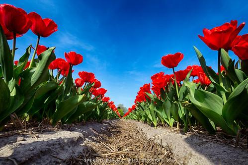 Flowerbulbs 7 - Tulips
