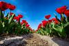 Flowerbulbs 7 - Tulips (Manuel Speksnijder) Tags: bloemen flowers holland zuidholland southholland hillegom hofduynlaan stationsweg nederland thenetherlands bollen bulbs bloembollen flowerbulbs bollenstreek bulbregion canoneos5dmarkiii canon ef1635mmf28liiusm blauwelucht bluesky blue blauw tulpenvelden tulipfields tulp tulip velden fields tulpen tulips tulipfield tulpenveld red rood rodetulpen redtulips