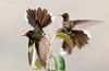 Rainbow-bearded Thornbill (Chalcostigma herrani) (www.sanjorgeecolodges.com) Tags: rainbow bearded thornbill chalcostigma herrani ecuador south america san jorge ecolodges tours trips bird photo luis alcivar best pájaro animal macrofotografía madera birdwatching colibrí en la personas hummingbirds andes