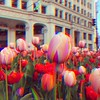 More flowers! This time in a triple-exposure #harrisshutter (spudart) Tags: harrisshutter chicago chicagoflowers chicagotulips chicagospring harriscamera tripleexposure cyanmagentayellow colorful michiganavenue wrigleybuilding architecture garden urbangarden citygarden urbantulips citytulips beautifultulips colorfultulips