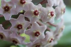 Hoya Carnosa (Wachsblume) (Suzanne's stream) Tags: hoyacarnosa wachsblume blooming blüht blüten wachs germany plant pflanze