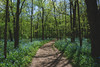 Illinois Canyon Blue Bells (tylerjacobs) Tags: sony a6000 nature flowers spring summer illinois life hiking bloom sigma 14mm f20 wide angle landscape blue bells canyon starved rock path travel sunny