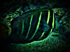 Close encounter (thomasgorman1) Tags: fish snorkeling water sea ocean underwater hawaii sealife closeup black yellow kona kahaluu fujifilm coral reef flash
