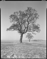 same tree different side (steve-jack) Tags: sinar p 90mm ilford delta 100 perceptol hertfordshire herts buntingford snow field landscape tree winter film 5x4 4x5 large format epson v500