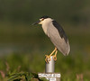 Black-crowned Night-Heron (Gary McHale) Tags: black crowned night heron blackcrowned nightheron circle b bar reserve lakeland florida gary mchale ngc npc