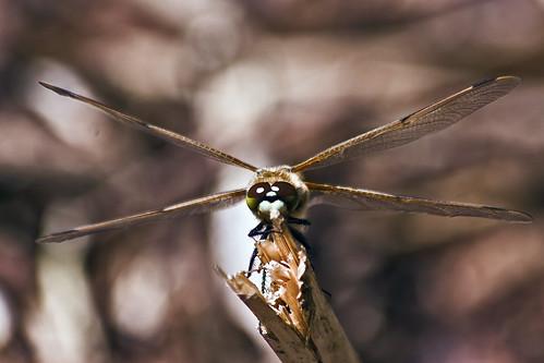 Libellula Quadrimaculata (male ♂)* (0296)